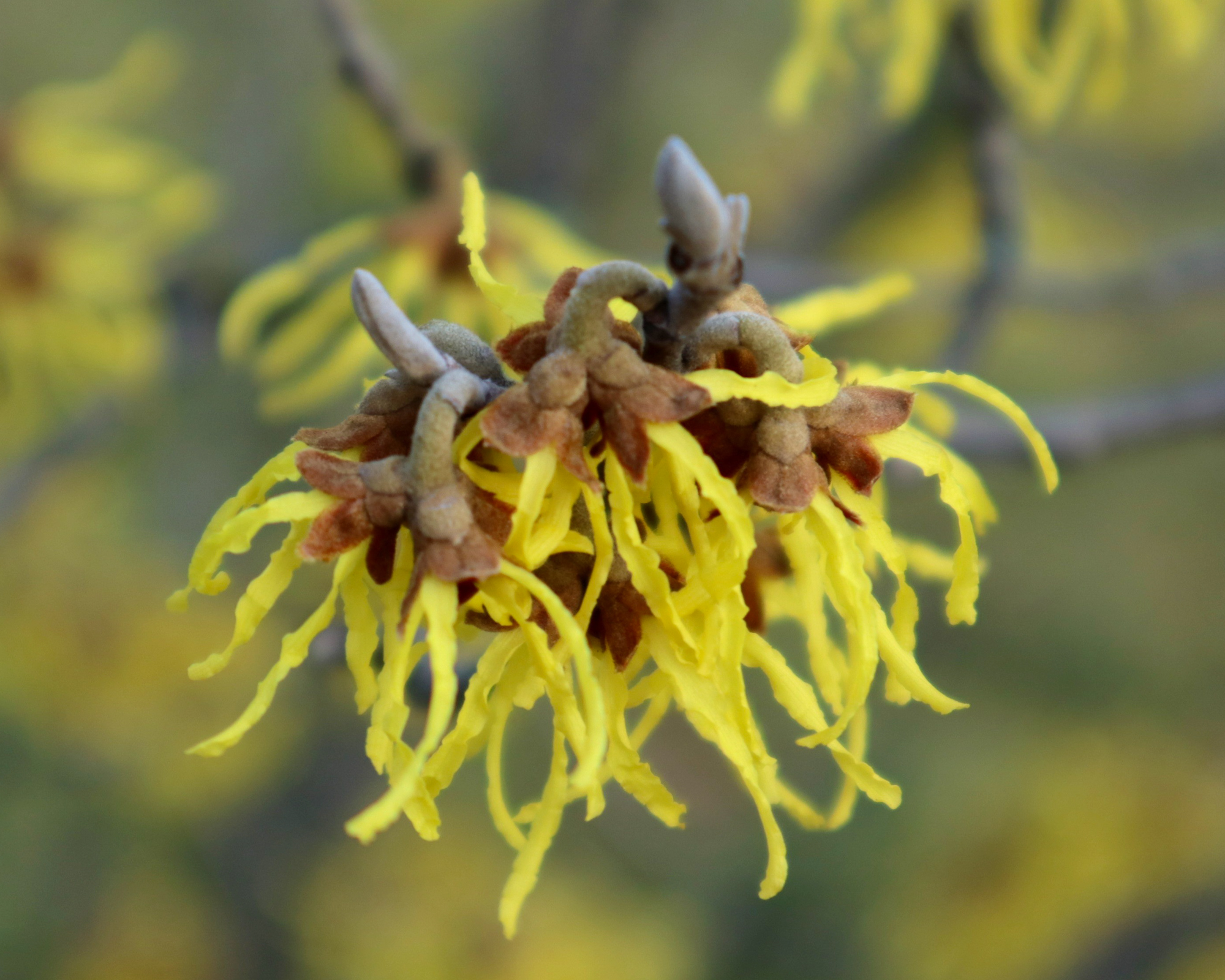 Hamamelis (Witch Hazel)